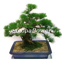 소나무(특1)